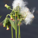 thickhead salmon-red flowers droop. Seeds have fluffy white pappus for wind dispersal